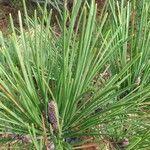 Pinus pinaster Blad