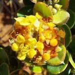 Tristaniopsis calobuxus Kvet