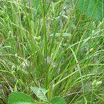 Carex hirsutella