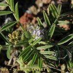 Astragalus epiglottis