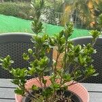 Gardenia augusta Blad