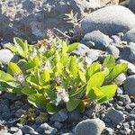 Salix arctica