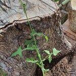 Sonchus oleraceus Leaf