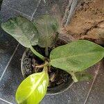 Philodendron martianum Liść