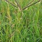 Eustachys paspaloides