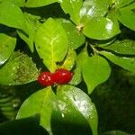 Psychotria chagrensis