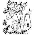 Euphorbia angulata