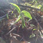 Uvularia sessilifolia Kvet