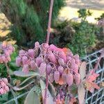 Bryophyllum fedtschenkoi