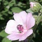 Lavatera thuringiaca