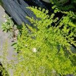 Asparagus setaceus Liść