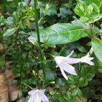 Campanula rapunculus Flower