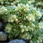 Herniaria alpina