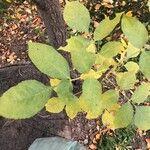 Fraxinus latifolia Foglia