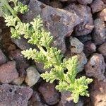 Chenopodium schraderianum Leaf