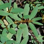 Euphorbia celastroides