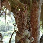 Pelagodoxa henryana