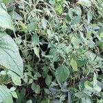 Phenax sonneratii Foglia
