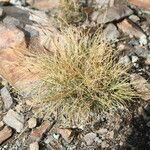 Carex filifolia
