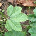Malva sylvestris Leaf