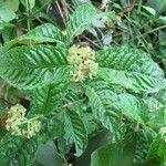 Psychotria horizontalis