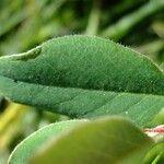 Cotoneaster juranus