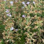 Thymus caespititius