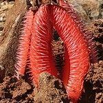 Hydnora abyssinica