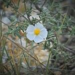 Helianthemum violaceum