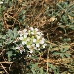 Hormathophylla halimifolia