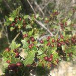 Rhamnus alaternus Fruit