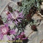 Centaurea resupinata