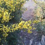 Genista scorpius Flor