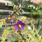 Solanum pyracanthos