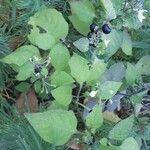 Solanum nigrum Vili