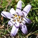 Perezia ciliosa