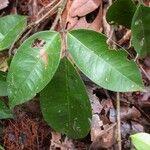 Rourea adenophora