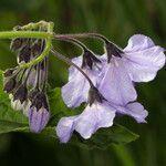 Solanum wallacei