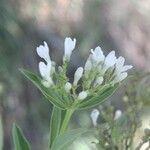 Calea prunifolia
