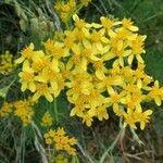 Jacobaea adonidifolia