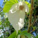 Davidia involucrata Virág