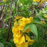 Tecoma stans Pflanze