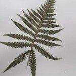 Phegopteris connectilis Leaf