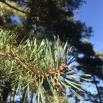 Pinus sylvestris Leht