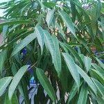 Ficus maclellandii