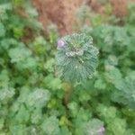 Lamium amplexicaule Flower