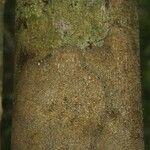 Brosimum parinarioides
