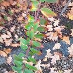 Hypericum beanii