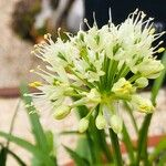 Allium victorialis