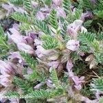 Astragalus sempervirens